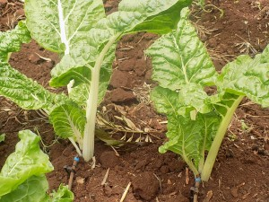 salad-crops-growing